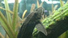 Large Black Fish Floating in Aquarium Stock Footage