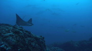 Eagle Ray and Sharks Stock Footage
