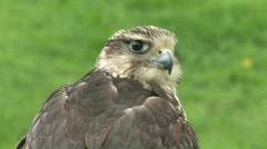 HD1080i Falcon (Close up) Stock Footage