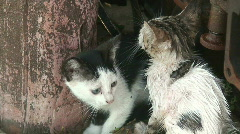 Feral kittens 2 Stock Footage