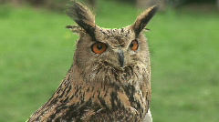 "Stock Video Footage of HD1080i Eurasian Eagle-owl ""Bubo bubo"" (Close Up)"