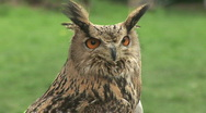 HD1080i Eurasian Eagle-owl