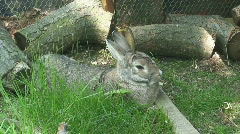 Rabbit Lying in its Pen or Hutch Stock Footage