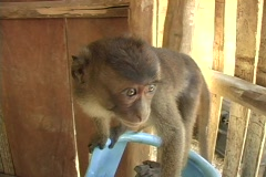 Stock Video Footage of Monkey looks into camera