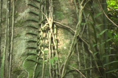 Closeup of Philippine hard wood tree with jungle vines Stock Footage
