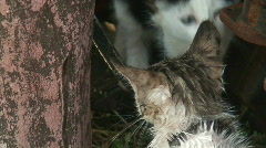 Feral kittens 1 Stock Footage