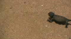 Gekko in desert Stock Footage