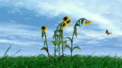Butterfly and Sunflowers HD1080 - stock footage