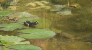 Frog Sitting on Lily Pad and Then Jumping Off Stock Footage