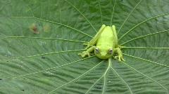 Spotted treefrog (Hypsiboas punctatus) Stock Footage