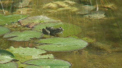 Frog Sitting on Lily Pad Good Sound Stock Footage