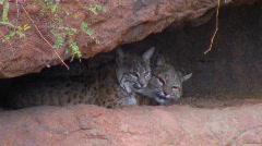 Stock Video Footage of Pair of bobcats - 6 awakening mom