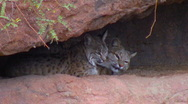 Stock Video Footage of Pair of bobcats - 6 awakening mom