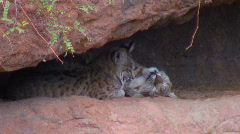 Pair of bobcats - 5 nudging Stock Footage