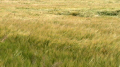 Tall grass blowing in the breeze.  - stock footage