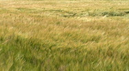 Stock Video Footage of Tall grass blowing in the breeze.