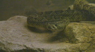 Stock Video Footage of Mojave desert diamond back rattler