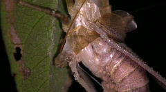 Tropical bush cricket shedding its skin Stock Footage