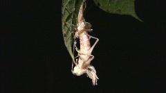 Tropical bush cricket shedding its skin Stock Footage