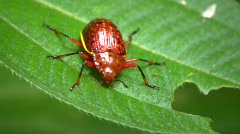 Leaf beetle (Chrysomelidae) in the rainforest understory Stock Footage