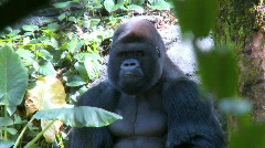 Gorilla Sitting in the Shade - stock footage