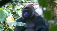 Stock Video Footage of Gorilla Sitting in the Shade