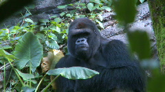 Gorilla Looking at the Camera Stock Footage