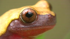 Clown treefrog (Dendropsophus triangulum) Stock Footage