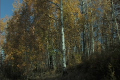 Aspen Tree Tilt Up Stock Footage
