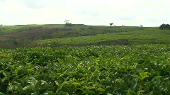 Malawi: tea plantation on a hill slope Stock Footage