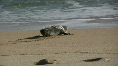 Seal entering the sea. Stock Footage