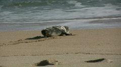 Seal entering the sea. Stock Footage
