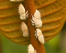 Group of plant hoppers attended by ants in the Amazon rainforest  Stock Footage