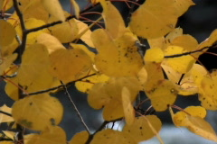 Stock Video Footage of Aspen Leaves With Creek Background