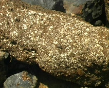 Bivalves encrusting a fossilized log  beside the rio Manati near Iquitos, Peru Stock Footage