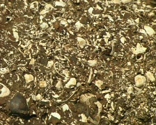Fossil bivalves exposed in strata beside the rio Manati near Iquitos, Peru - stock footage