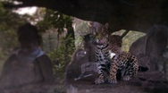 Stock Video Footage of leopard watches visitors in zoo