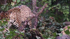 Jaguar walking Stock Footage
