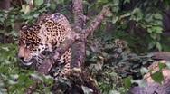 Jaguar walking Stock Footage