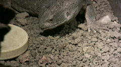 Savannah Monitor Looking for Food with Tongue - stock footage