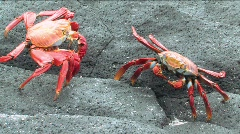 Two Sally Lightfoot Crabs, Galapagos Islands - stock footage