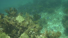 Blue Wrass on Reef Stock Footage