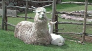 Stock Video Footage of Alpaca newborn and mother in Peru
