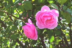 Two Pink Climbing Roses CU Stock Footage
