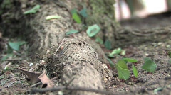 Leaf cutter ants in the Amazon Rainforest - stock footage