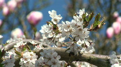 HD1080i Insect on white spring cherry tree (Close Up) Stock Footage