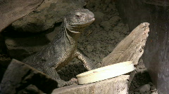 Savannah Monitor Standing Tall Stock Footage