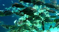 School of Fish 4  Stock Footage