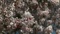 HD1080i White spring cherry tree (Close Up) Stock Footage