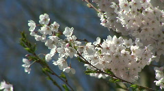 Flowers Of The Cherry Blossoms On A Spring Day Stock Footage